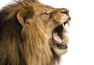 24155959 - close-up of a lion roaring, isolated on white
